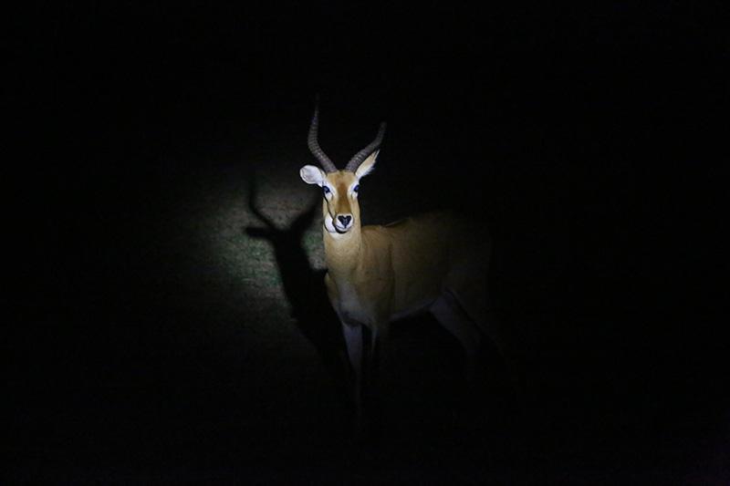 Antelope caught in torch light