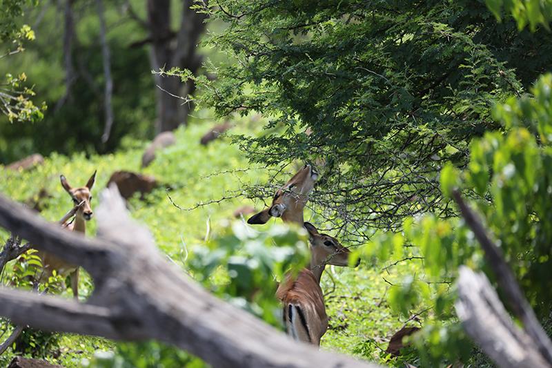 Feeding Impala