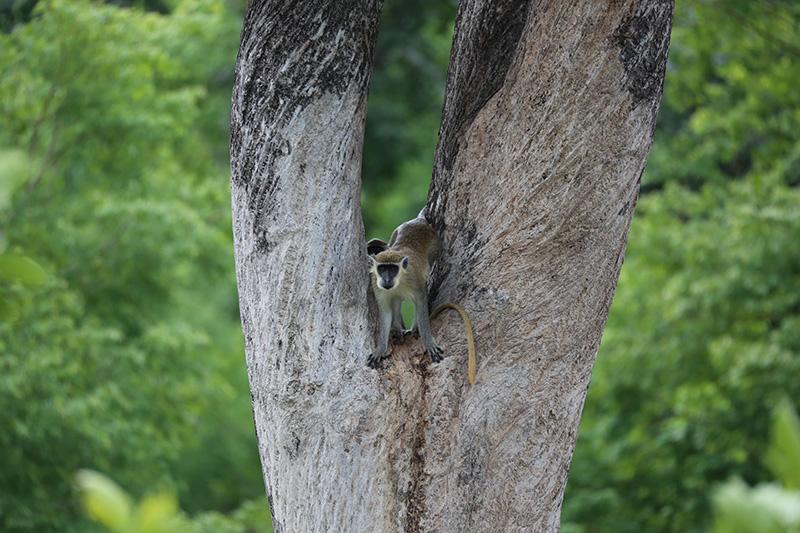 Green Monkey 1