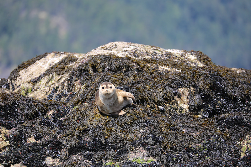 Harbour seal 2