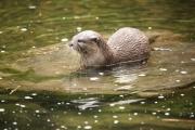 Asian short clawed otter 1