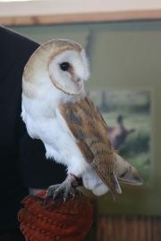 Barn owl 3