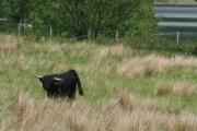 Black highland cow 2