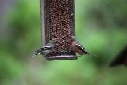 Chatting Birds.JPG