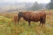 Highland cow & calf