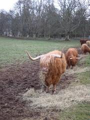 Highland cows feeding