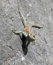 Lizard 2