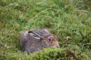 Mountain hare 1