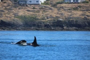 Orca Whales 1