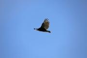 Turkey Vulture 1