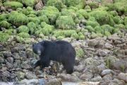 Black Bear 2