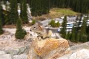 Golden-mantled ground squirrel 1