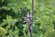 Green Monkey 2