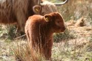 Highland calf 3