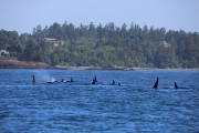 Orca Whales 2