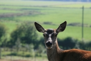 Red deer 5