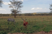 Zebra & Grant's Gazelle