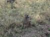 Baboon 2