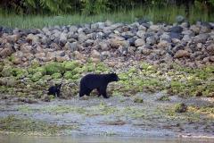 Black Bear & cub 1