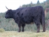 Black highland cow 1