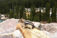 Golden-mantled ground squirrel 2