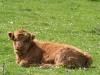 Highland calf 1