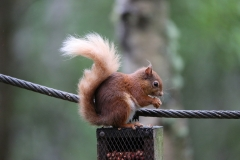 Red Squirrel 4