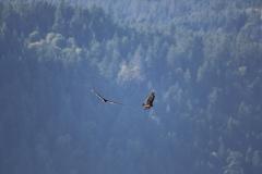 Turkey Vulture 4