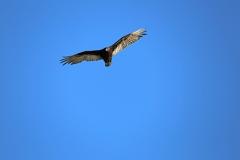 Turkey Vulture 5