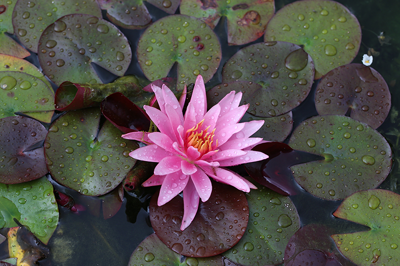 Water Lily_001