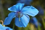 Blue tulip 1