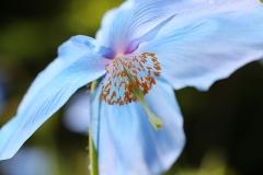 Blue tulip 3