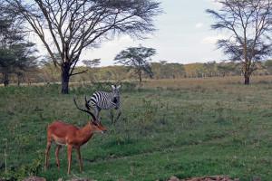 Antelope & Zebra