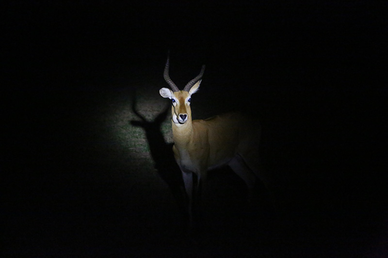 Antelope caught in torch light