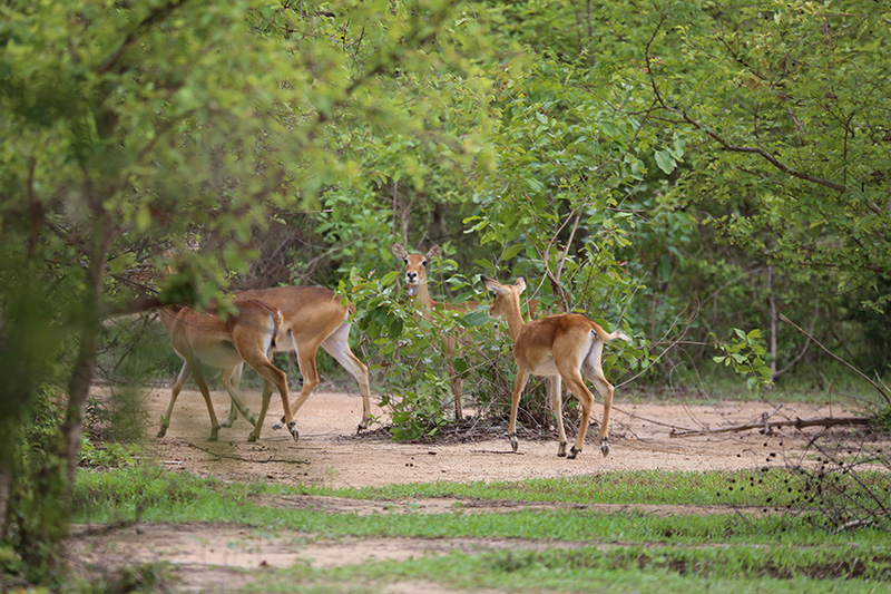 Antelope Herd